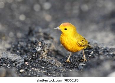 Yellow warbler on Galapagos islands