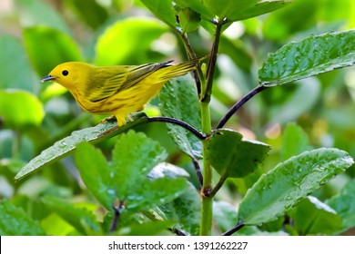 A Yellow Warbler on the Pacific Coast of  Costa Rica after a spring rain.
