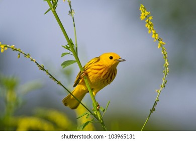 Yellow Warbler Perched In Complementary Colored Foliage