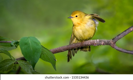 Yellow Warbler perched during Spring migration