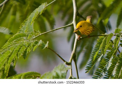 Yellow warbler perched on a branch