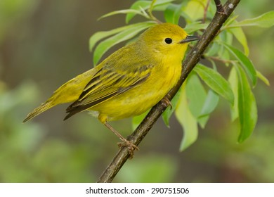 Yellow Warbler perched on a branch.