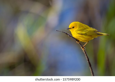 Yellow Warbler perched on small twig with colorful blue and green background.