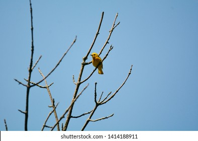 A yellow warbler perches high in a tree against the deep blue sky in Brighton Recreation Area, Brighton, Michigan.