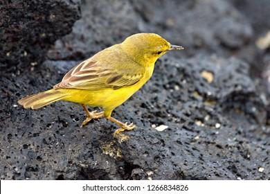 Yellow Warbler / Setophaga petechia /. Santa Cruz Island. Galapagos. Ecuador. South America.
