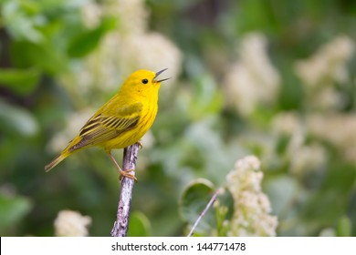 Yellow Warbler singing from perch