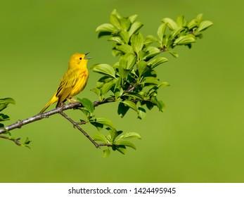 Yellow Warbler Singing in Spring on Green Background