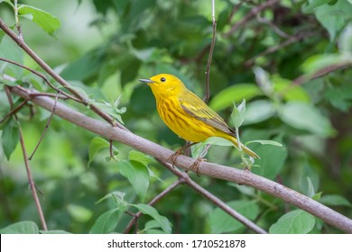A yellow warbler sits on a branch