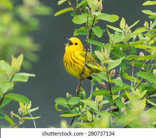 Yellow Warbler in Spring