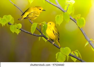 Yellow warblers. Latin name - Dendroica petechia.