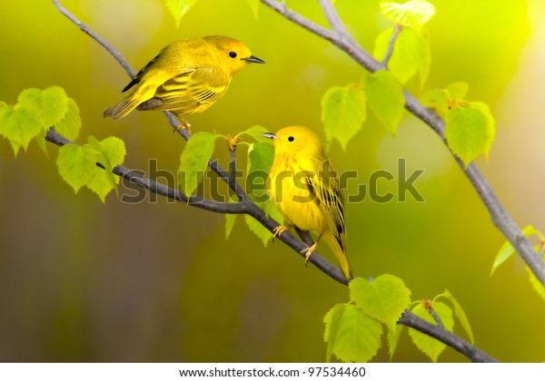 yellow-warblers-latin-name-dendroica-600