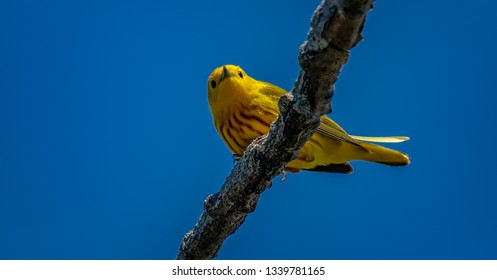 Yellow Warblers migrating at Magee Marsh Wildlife Area.