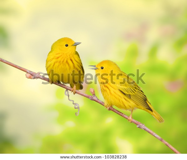 Yellow warblers perching on branch, talking. Latin name - Dendroica petechia.