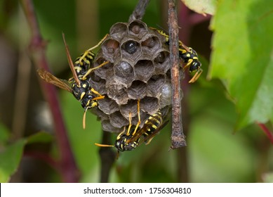 Yellow wasp nest (Polistes gallicus), with larvae and eggs.Photographed in Catalonia.Spain