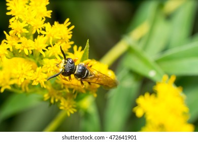Yellow wasp take pollen on yellow flower