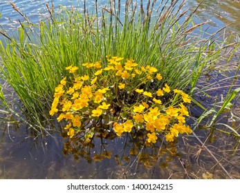 yellow water flowers in a pond