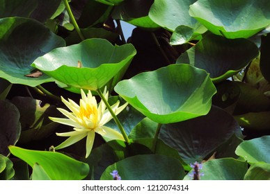 Yellow water lily with leaves in a pond. Nature background.