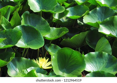 Yellow water lily ( Nymphaea)  with leaves in a pond. Nature background.