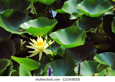 Yellow water lily (Nymphaea) with leaves in a pond. Nature background.