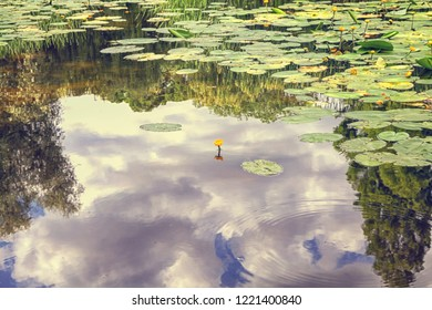 Yellow water lily in pond with reflection of clouds in water