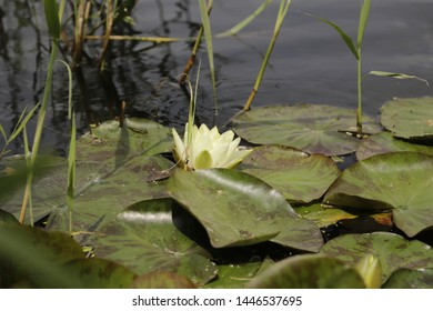 Yellow Waterlily in the canal, floating leaves growing from under water