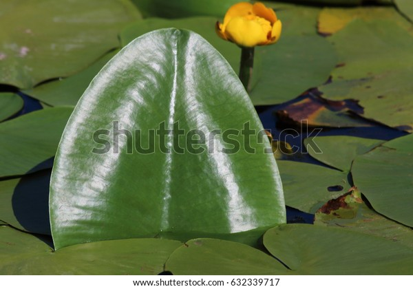 Yellow water-lily (Nuphar lutea) leaves in the pond