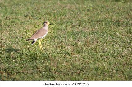 Yellow wattled lapwing, bird in grassland