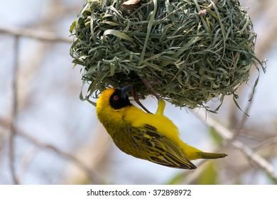Yellow Weaver bird building a nest in Etosha National Park, Namibia, Africa.