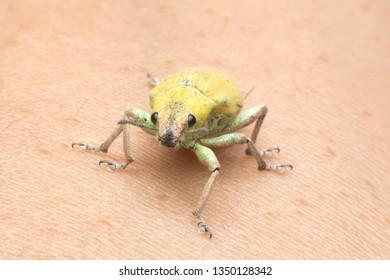 yellow weevil  Scientific name: Hypomeces squamosus Fabricius Wong: Curculionidae Rank: Coleoptera Arthropoda: Insecta