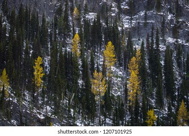 Yellow Western Larch Trees stand out against a cold hillside.
