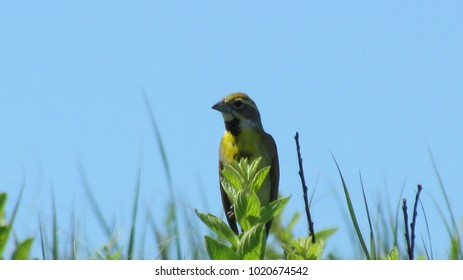 Yellow Western Meadowlark