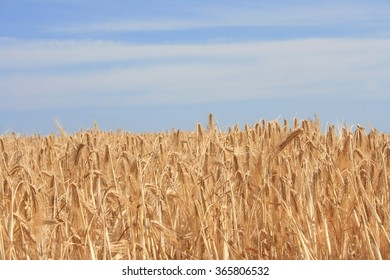 Yellow wheat and blue sky. Healthy food
