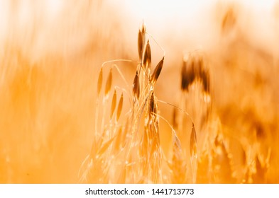 yellow wheat close up in the field with blurry background