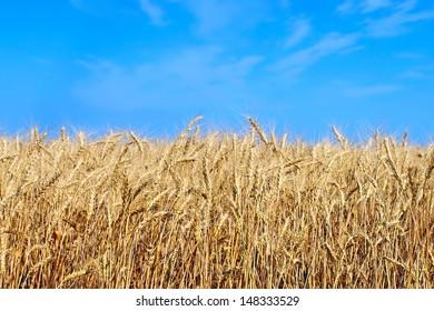 Yellow wheat ears and blue sky taken closeup.