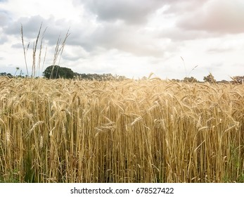 Yellow wheat ears growing on field /  With Copy Space - Shutterstock ID 678527422