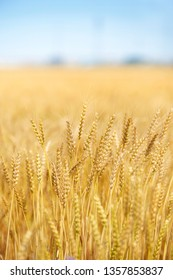 yellow wheat ears on the field, close up