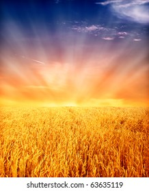 yellow wheat field with sunset sky in background