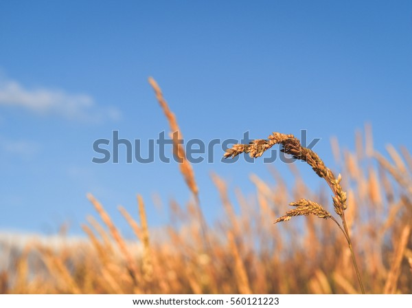 Yellow wheat grass on a blue day in summertime with grass and white clouds in the background.