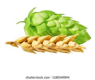 Yellow wheat and  green hop isolated on white background. Fresh  hop, ears of barley and wheat grain.Isolated close-up on white background.