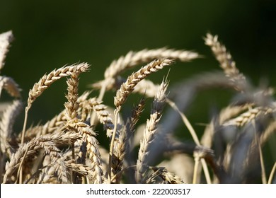 Yellow wheat on green background