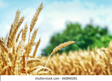 Yellow wheat ready for harvest growing in a farm field