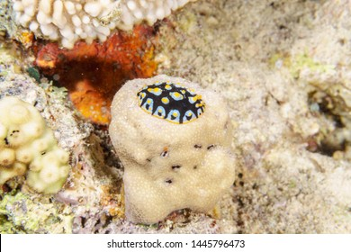 Yellow, white and black nudibranch. Underwater photo. Red sea.