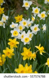 Yellow and white Daffodil flowers, Daffodowndillys, Narcissus field