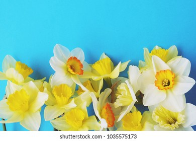 yellow narcissus daffodil flowers on blue stock photo edit now
