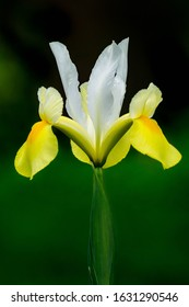 Yellow and white dutch iris on green background