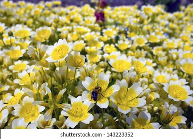Yellow and white flowers Limnanthes Douglasii is commonly known as poached egg plant or fried egg plant.