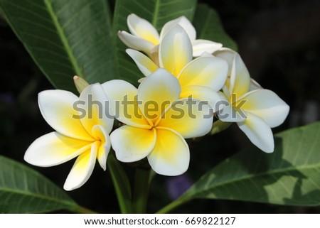 Yellow white frangipani flowers or plumeria stock photo edit now yellow and white frangipani flowers or plumeria jasmine mango in st mightylinksfo