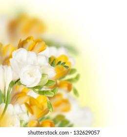 Yellow and white fressia, square image