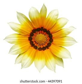 yellow and white gazania flower isolated on white