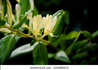 Yellow and White Honeysuckle Flowers, Lonicera japonica Thunb, Japanese honeysuckle.